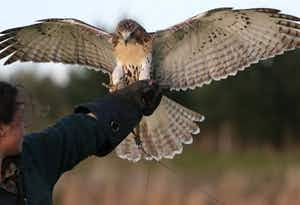 Birds Of Prey Experience in Fife, from £60
