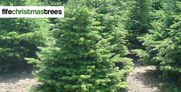 Real Nordmann Fir Christmas Tree for Collection; from £19