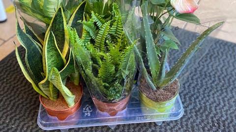 3 x Air-Purifying Plants