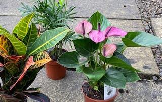 Set of 3 Indoor Plants