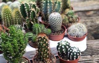 Set of 3 Mixed Cacti