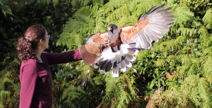 Falconry Taster Experience in Glasgow, from £19